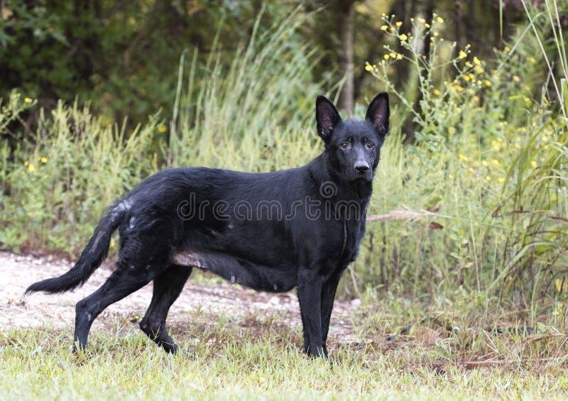 Senior Black German Shepherd Dog royalty free stock images