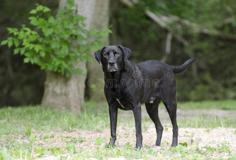 Senior Black Labrador Retriever dog. Older Black Labrador Retriever dog with gray muzzle. Animal Shelter Pet Adoption Photography. Walton County Animal Control royalty free stock images