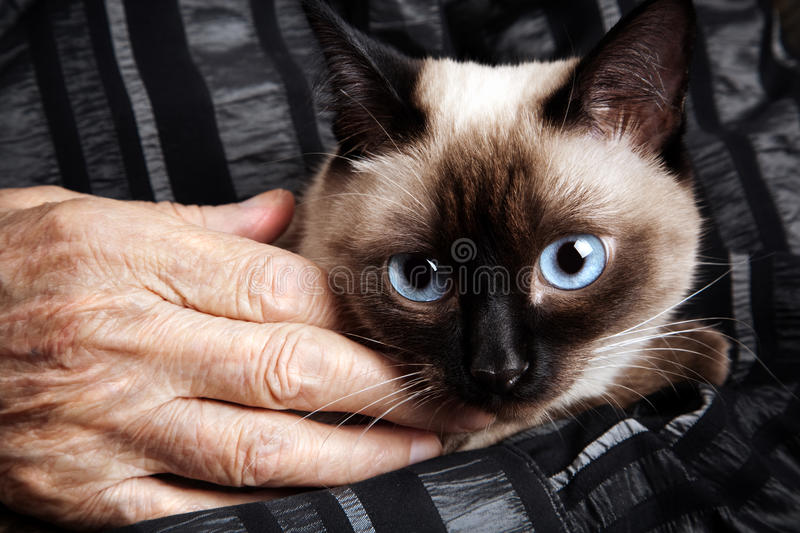 Senior with cat. Spesial toned photo f/x, selective focus on blue eye of pat royalty free stock images