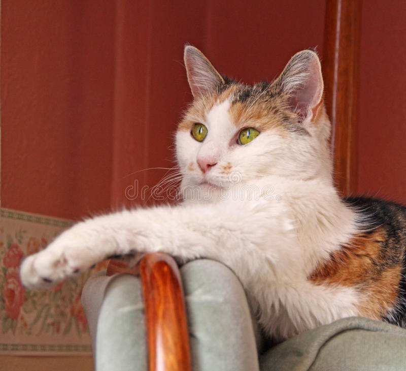 Senior cat on sofa royalty free stock images