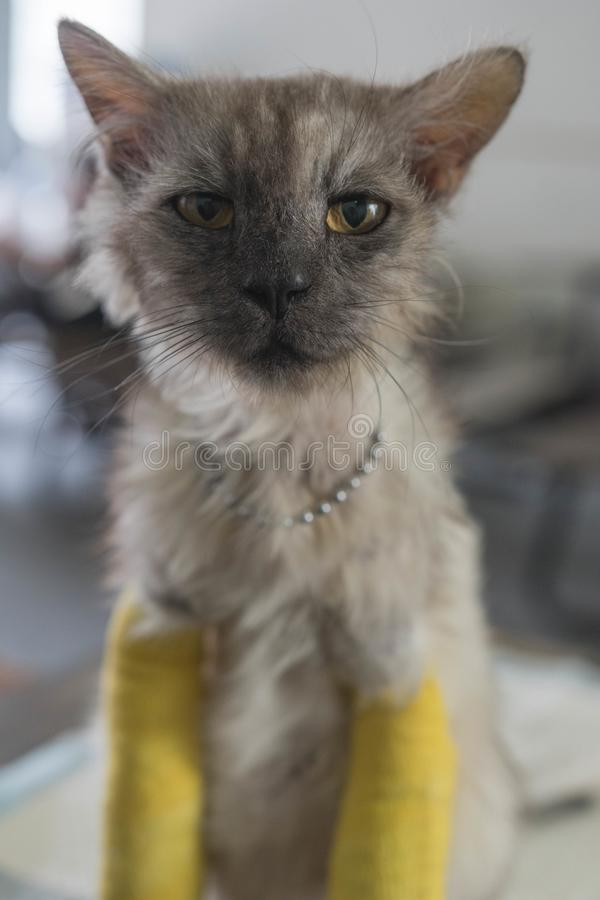 Senior cat with two broken legs royalty free stock image