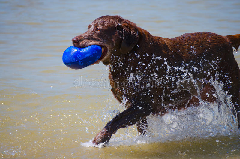 Senior Chocolate Labrador Retriever Running Water. Older mature senior chocolate labrador retriever running through the water with his toy in his mouth stock image
