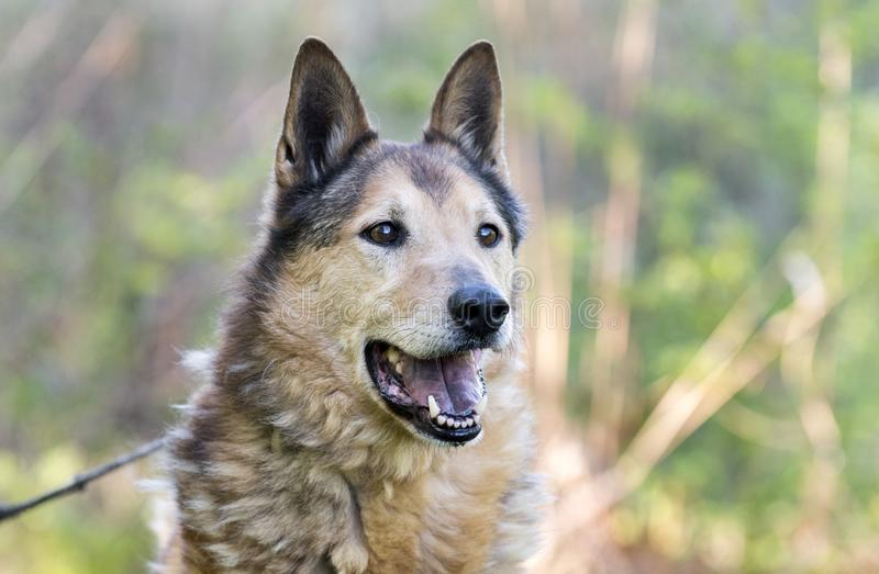 Senior Collie and German Shepherd mix breed dog. Eight year old neutered Collie Shepherd mutt dog outside on leash. Dog rescue pet adoption photography for royalty free stock photos
