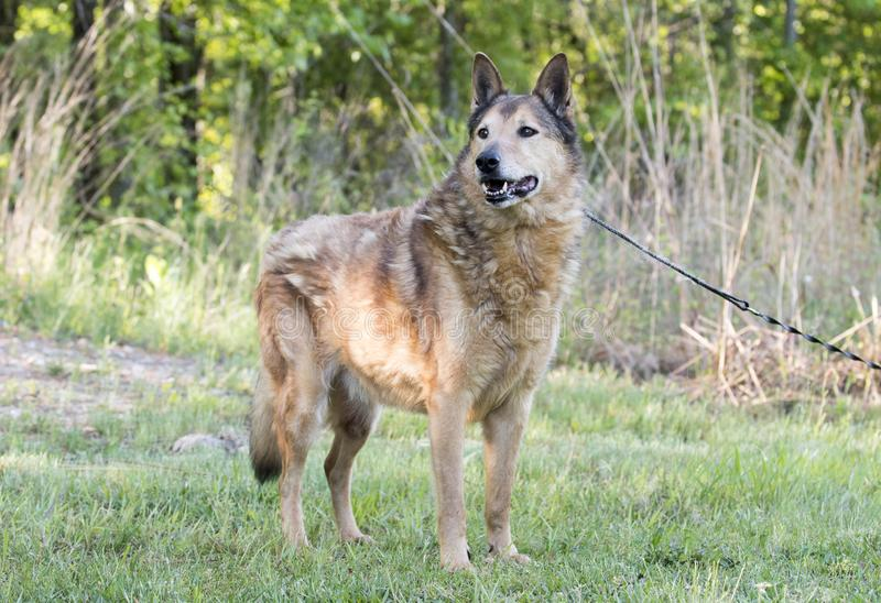 Senior Collie and German Shepherd mix breed dog. Eight year old neutered Collie Shepherd mutt dog outside on leash. Dog rescue pet adoption photography for royalty free stock images
