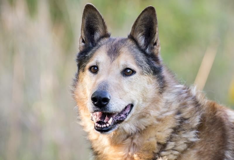 Senior Collie and German Shepherd mix breed dog. Eight year old neutered Collie Shepherd mutt dog outside on leash. Dog rescue pet adoption photography for stock images