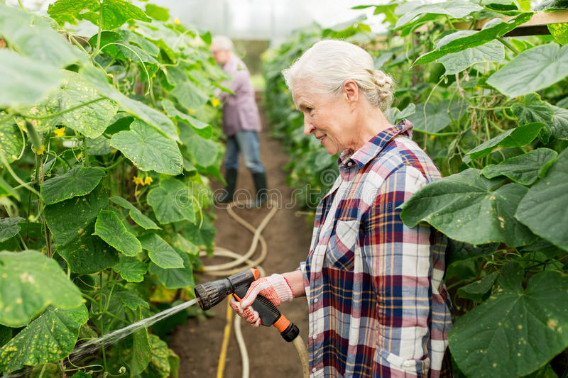 Senior couple with garden hose at farm greenhouse. Farming, gardening, agriculture and people concept - happy senior couple garden hose watering plants or royalty free stock image