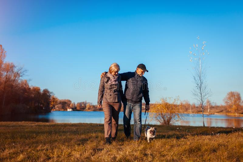 Senior couple walking pug dog in autumn park by river. Happy man and woman enjoying time with pet stock images