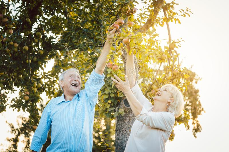 Senior couple of woman and man eating apples fresh from the tree stock image