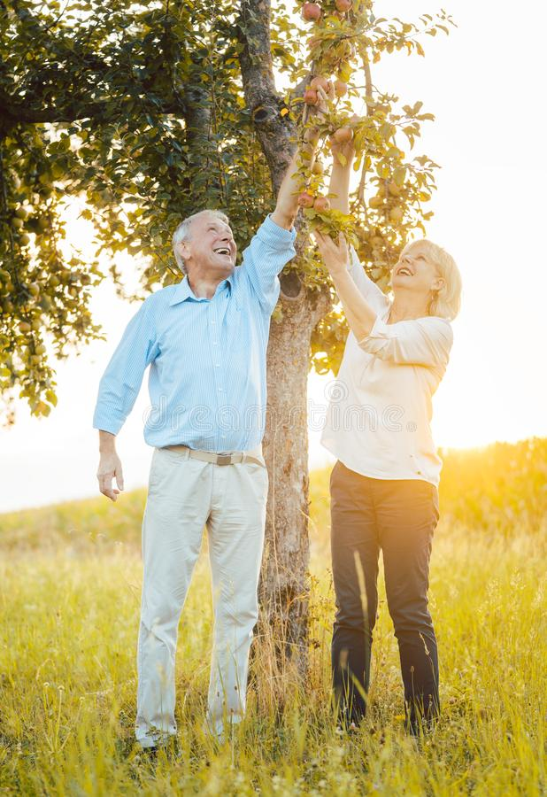 Senior couple of woman and man eating apples fresh from the tree stock photos