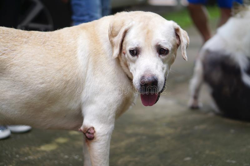 Senior cream color labrador dog with small wart on his face. And elbow royalty free stock photography