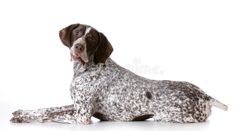 Senior dog. German shorthaired pointer with silly expression on white background stock photos