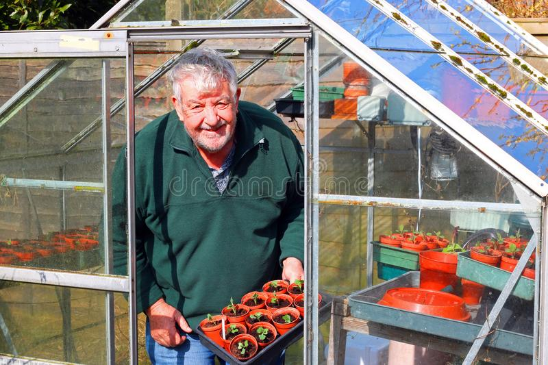 Senior gardener in greenhouse or glasshouse. A senior or elderly man happy and smiling in his greenhouse or glasshouse in the springtime. The man is happy to royalty free stock images
