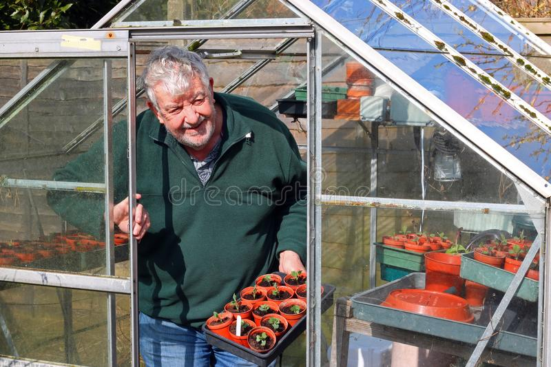 Senior gardener in greenhouse or glasshouse. A senior or elderly man happy and smiling in his greenhouse or glasshouse in the springtime. The man is happy to royalty free stock photo