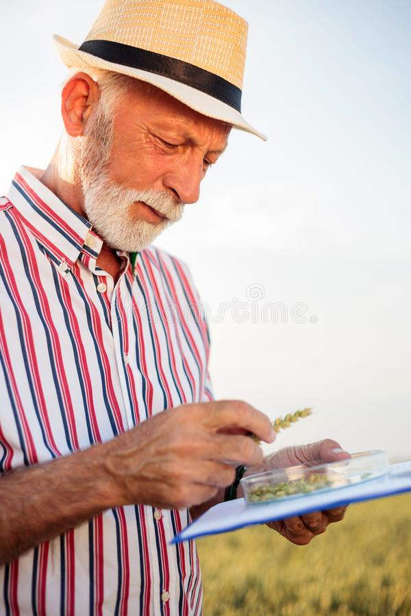 Senior farmer or agronomist examining wheat beads and filling out questionnaire. While inspecting large organic farm. Low angle view. Healthy food production royalty free stock photography