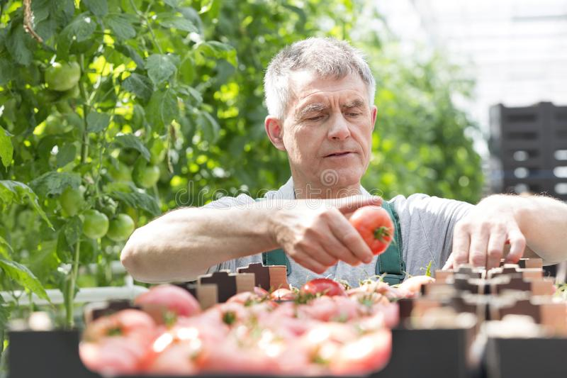 Senior farmer arranging tomatoes in crate at greenhouse royalty free stock photos