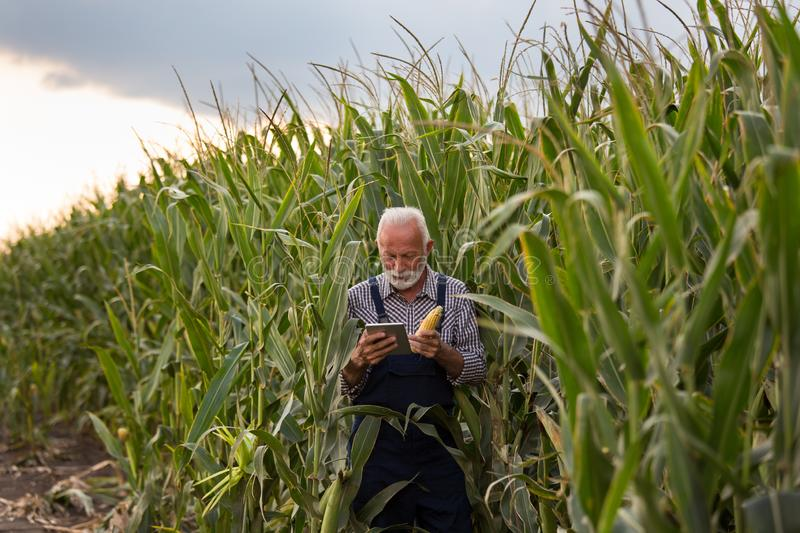 Farmer with corn cob and tablet royalty free stock image