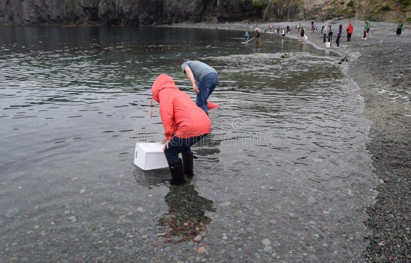 Woman catching Caplin fish with a net stock photo