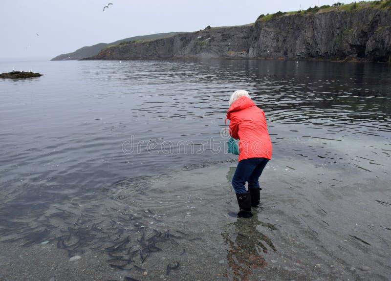 Woman catching Caplin fish with a net stock photos