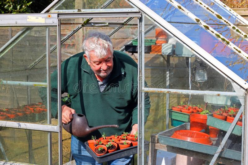 Senior gardener in greenhouse or glasshouse. A senior or elderly man watering plants in his greenhouse or glasshouse in the springtime. The man is happy to grow stock photos
