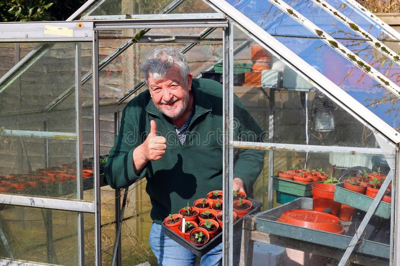 Senior gardener in greenhouse or glasshouse. A senior or elderly man happy and smiling with his thumb up in his greenhouse or glasshouse in the springtime. The royalty free stock photos