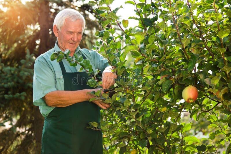 Senior gardener with scissors. royalty free stock photo