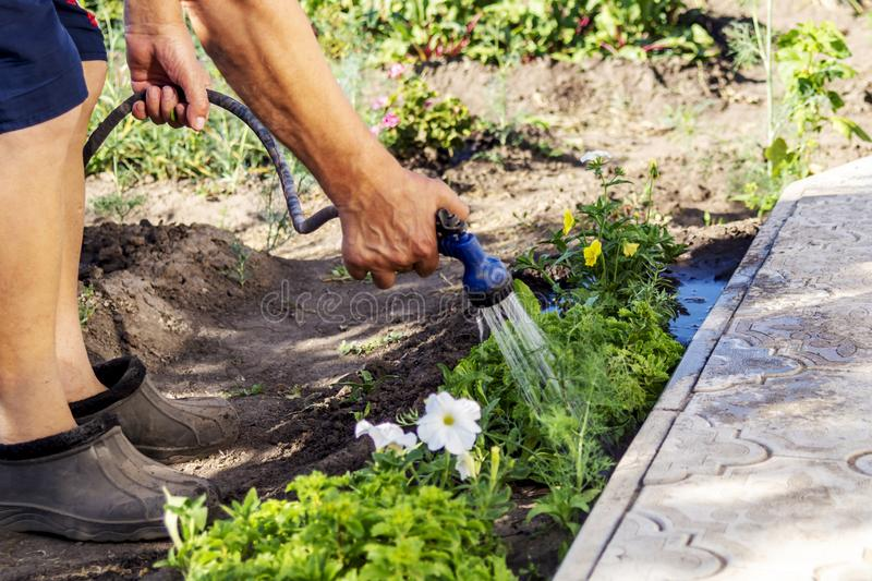 A senior gardener watering fresh plants in a garden bed for growth boost with shower watering gun. Organic gardening, healthy food royalty free stock photos
