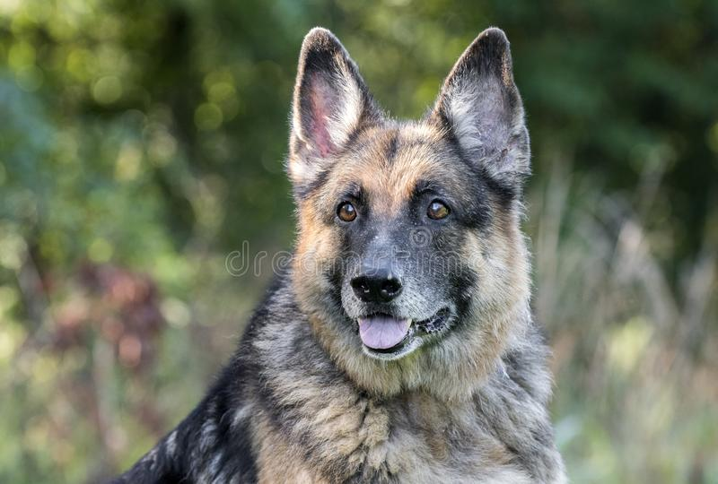 Senior German Shepherd Dog outside royalty free stock photography