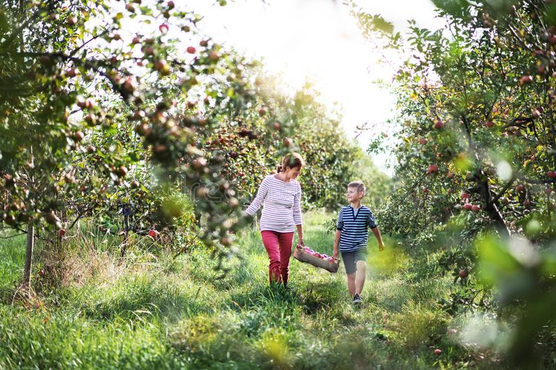 Senior grandmother with grandson carrying wooden box with apples in orchard. stock images
