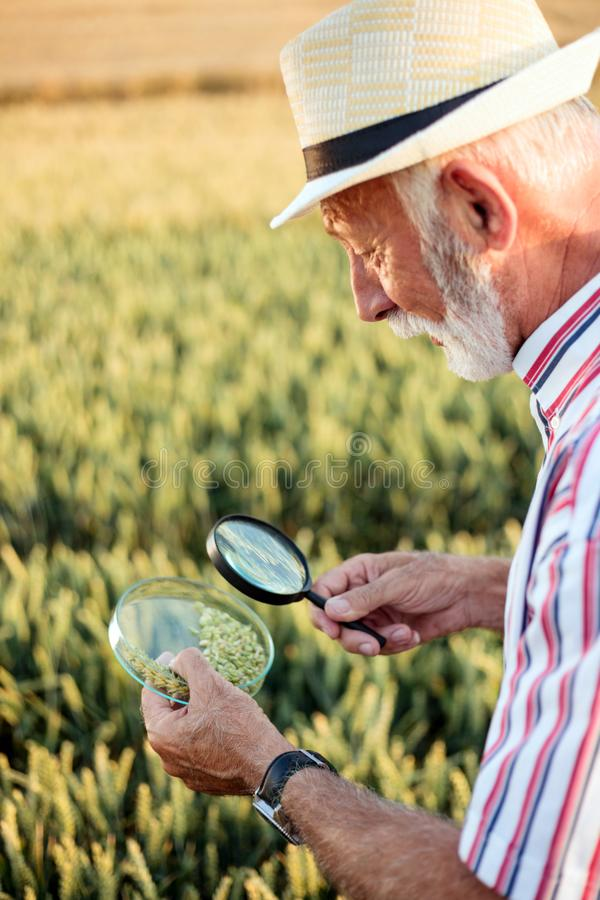 Senior agronomist or farmer examining wheat seeds under the magnifying glass in the field, looking for aphid or other parasites. Senior gray-haired agronomist or stock photo
