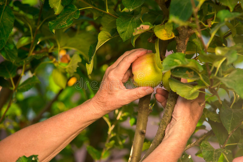 Senior hand picking apple. Branch with leaves and fruit stock images