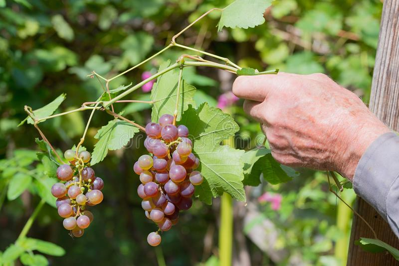 Senior hand shows bunch of ripe grapes stock photos