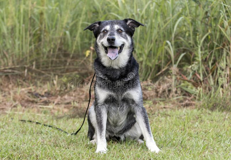 Senior Husky Retriever mixed breed dog. Older unneutered male black and tan Husky Lab mix mutt dog with graying muzzle, sitting outdoors on leash. Dog rescue pet stock image