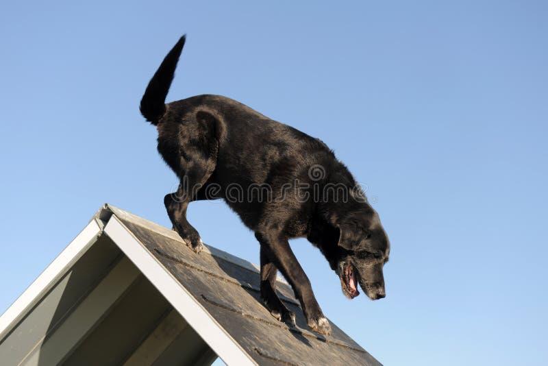 Senior labrador retriever in agility. Purebred senior labrador retriever jumping in a training of agility stock image