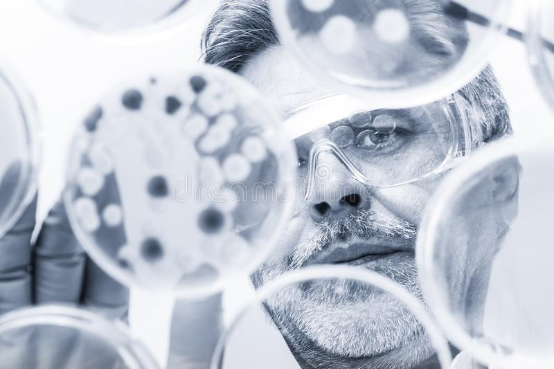 Senior life science researcher grafting bacteria. stock image