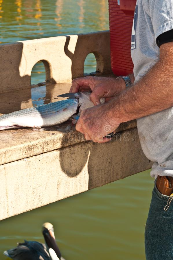 Fisherman filleting mullet fish at tropical marina. Senior, male, fisherman, large, filleting mullet fish at a cleaning station at a tropical marina with a brown stock images