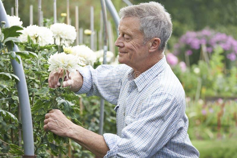Senior Man Cultivating Flowers In Garden. Happy Senior Man Cultivating Flowers In Garden stock photo