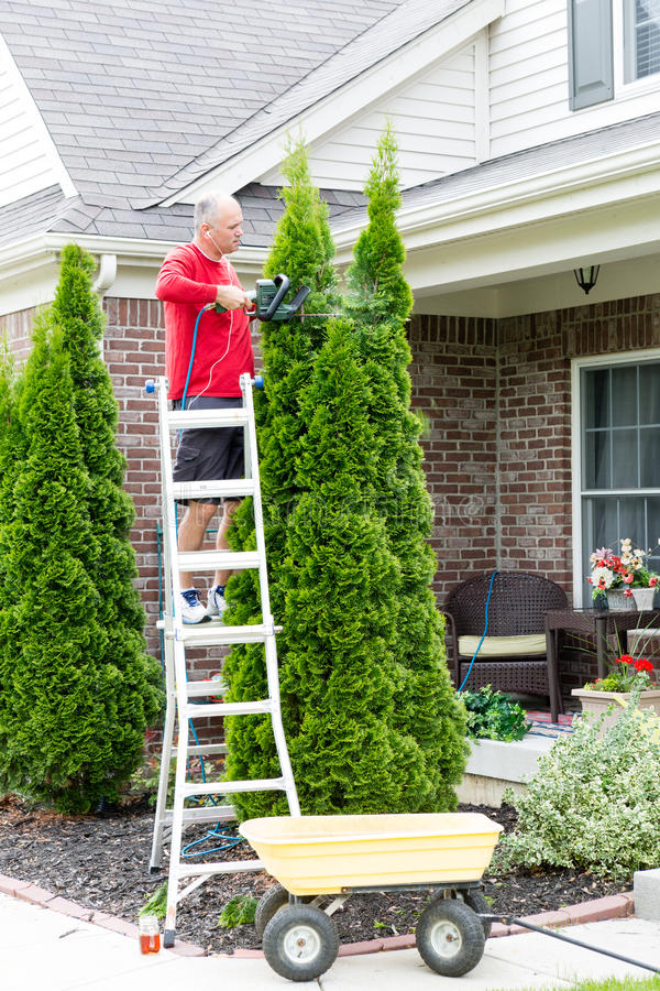 Senior Man Cutting Thuja Using Hedge Trimmer. Senior Man on a Steel Ladder Cutting Tall Thuja Occidentalis Plant Using Hedge Trimmer Tool Outside the House stock photo
