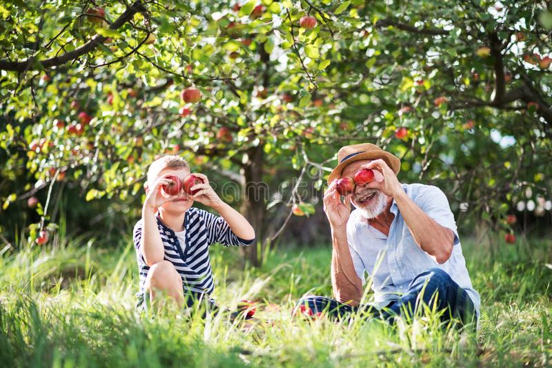 A senior man with grandson having fun when picking apples in orchard in autumn. A senior men with small grandson having fun when picking apples in orchard in stock image
