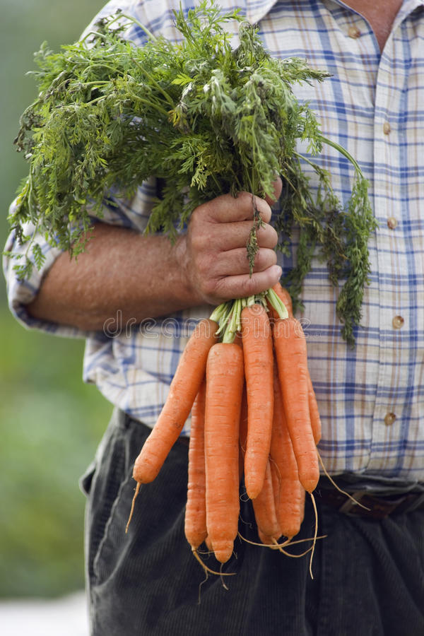 Senior man holding bunch of carrots in vegetable garden, front view, close-up, mid-section royalty free stock images