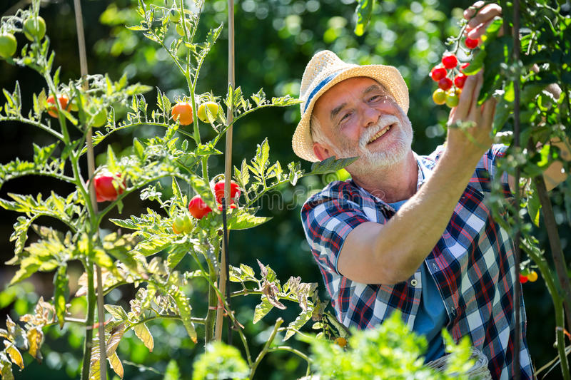 Senior man holding cherry tomato in the garden. On a sunny day royalty free stock image
