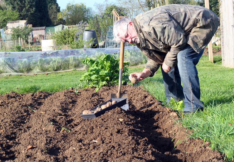 Senior man planting potatoes in the garden. stock image