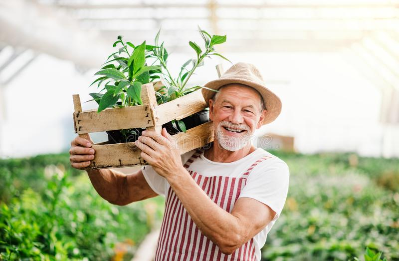 Senior man standing in greenhouse, holding a box with plants. royalty free stock image