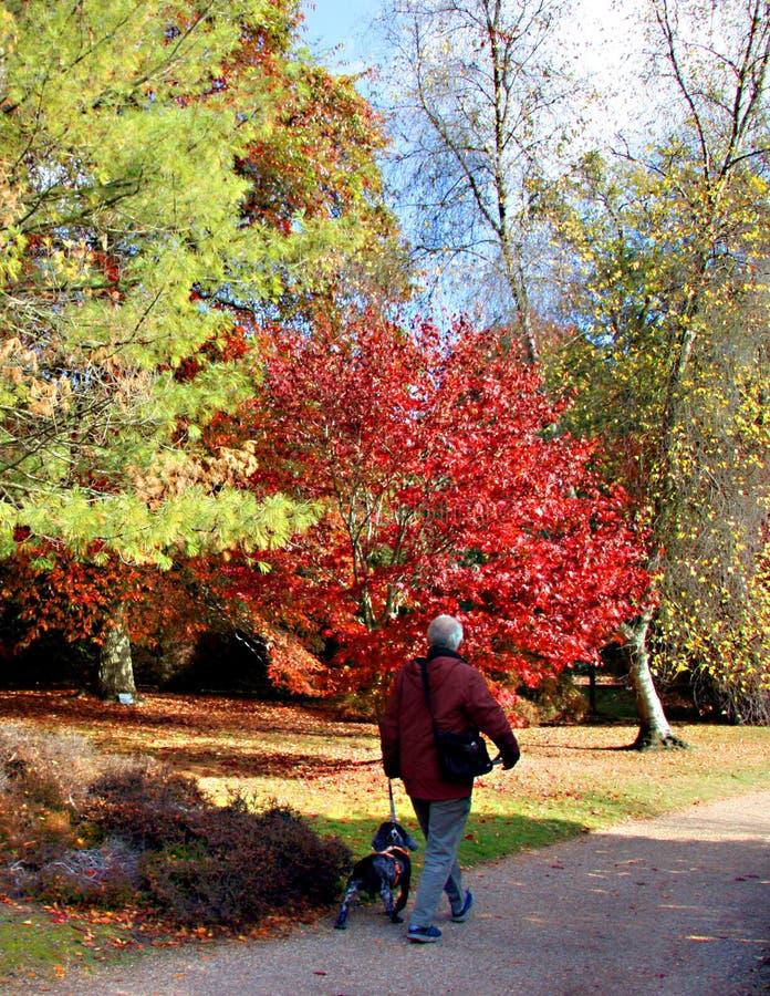 Senior man taking a cocker spaniel for a walk stock image