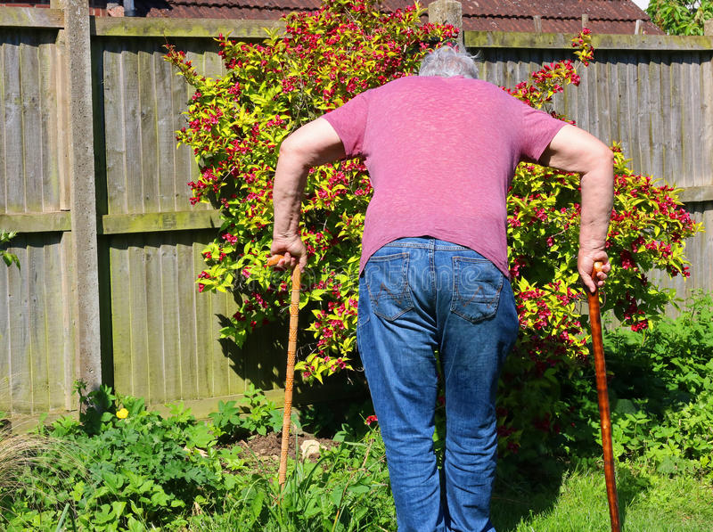 Senior man walking sticks or canes. Arthritis. A back view of a senior man using two walking sticks or canes having difficulty walking. Arthritis in legs and stock photography