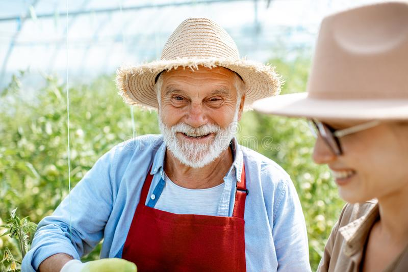 Senior man with woman in the hothouse with tomato plantation stock image