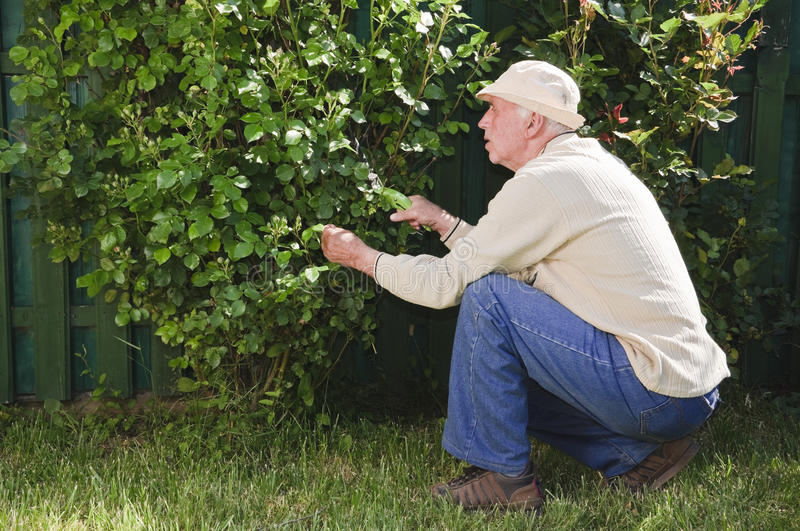 Download Senior Man Working In Garden Stock Image - Image: 14467915