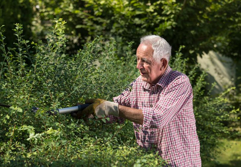 Old man trimming hedge in garden royalty free stock photo