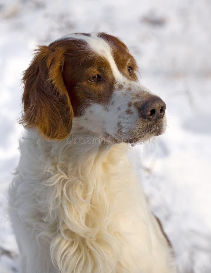 Senior red and white irish setter portrait royalty free stock photo