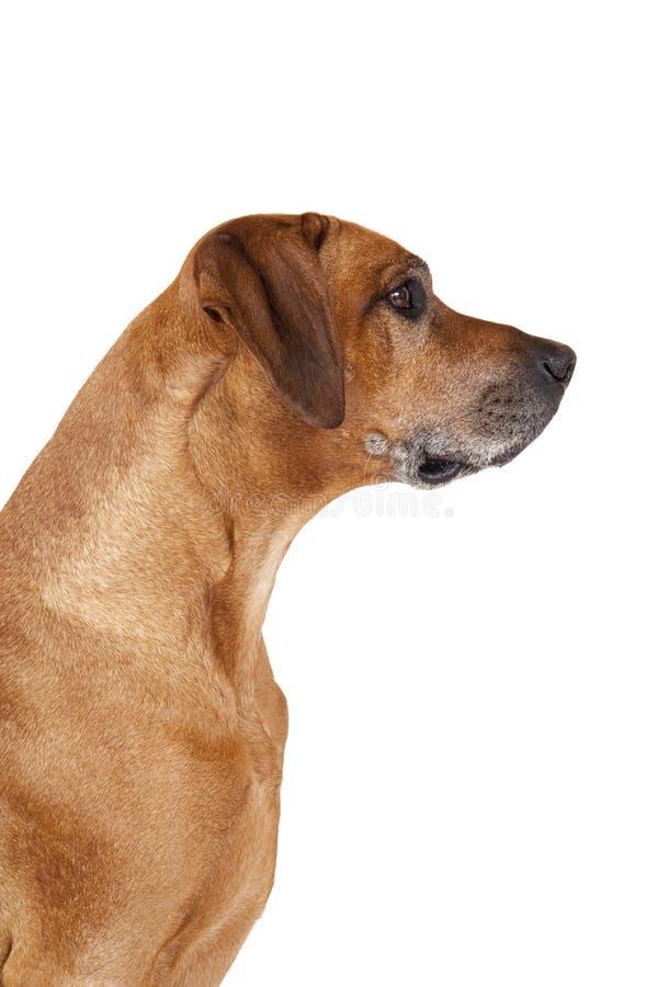 Download Senior Rhodesian Ridgeback Dog Portrait Stock Image - Image of grey, grass: 25215453