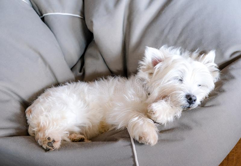 Senior west highland white terrier westie dog sleeping in a bean. Bag looking cute and comfortable royalty free stock photography